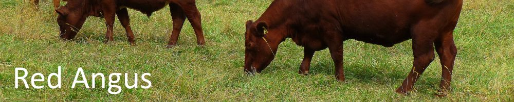 Royal Geelong Show, Red Angus Feature